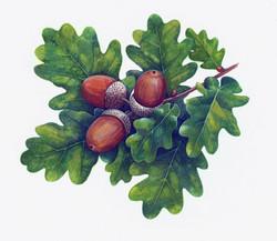 Oak+(Image+3A)