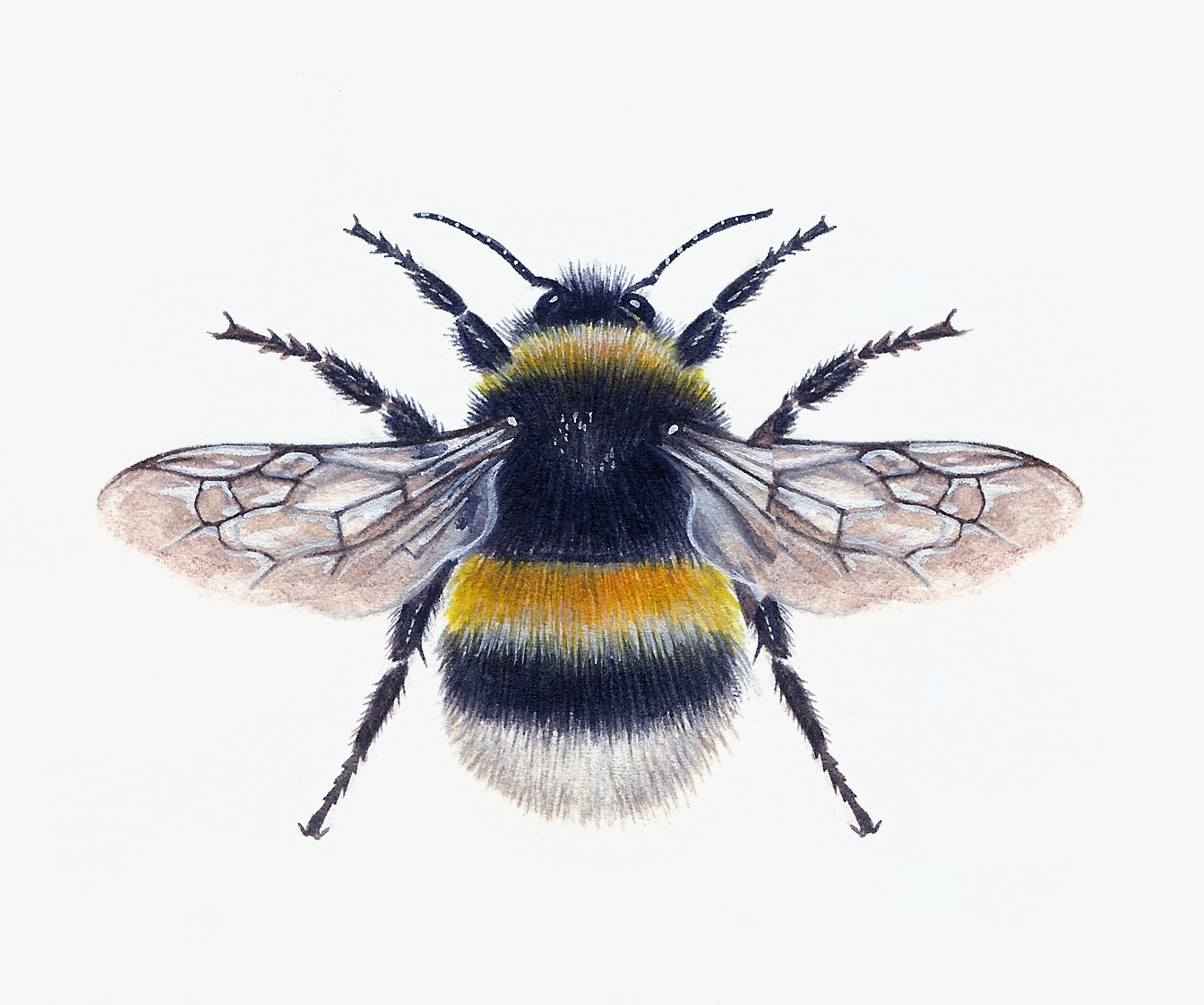 Bombus Terrestris Artwork