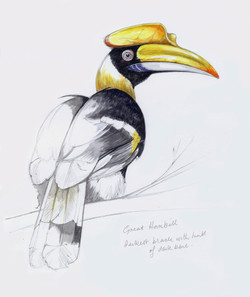 Great+Hornbill+Artwork