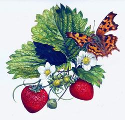 Comma+Butterfly