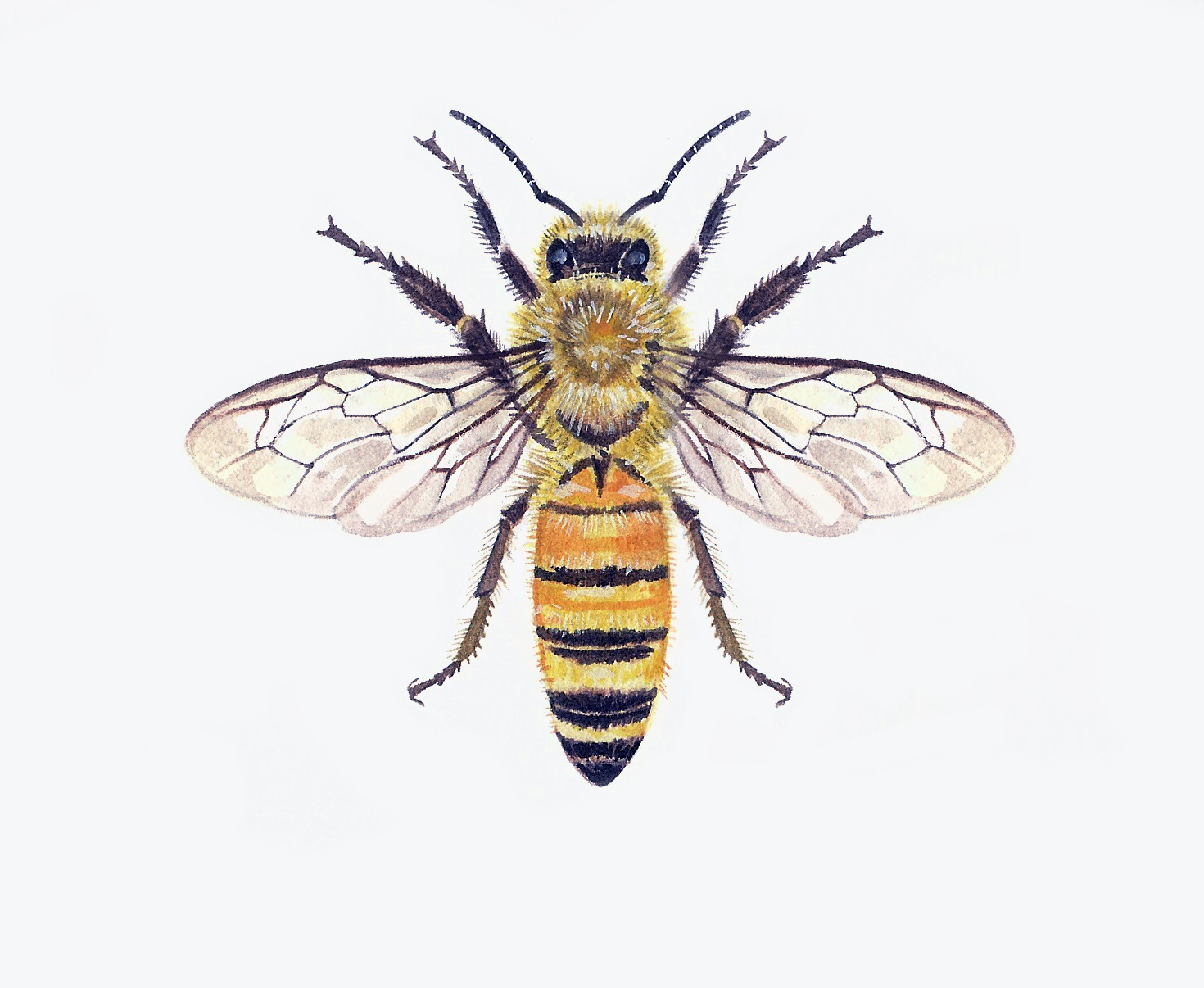 Apis Mellifera Artwork