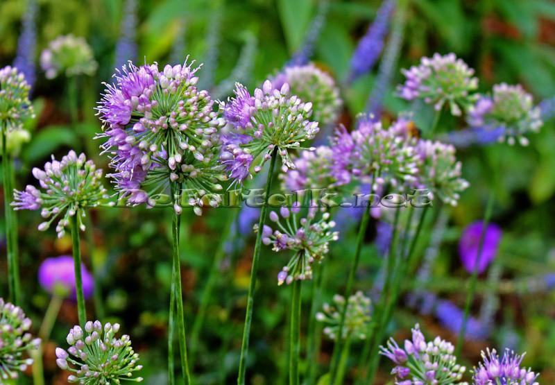 This Purple-flowered ornamental onion, Allium 'Medusa', blooms late summer and fall.