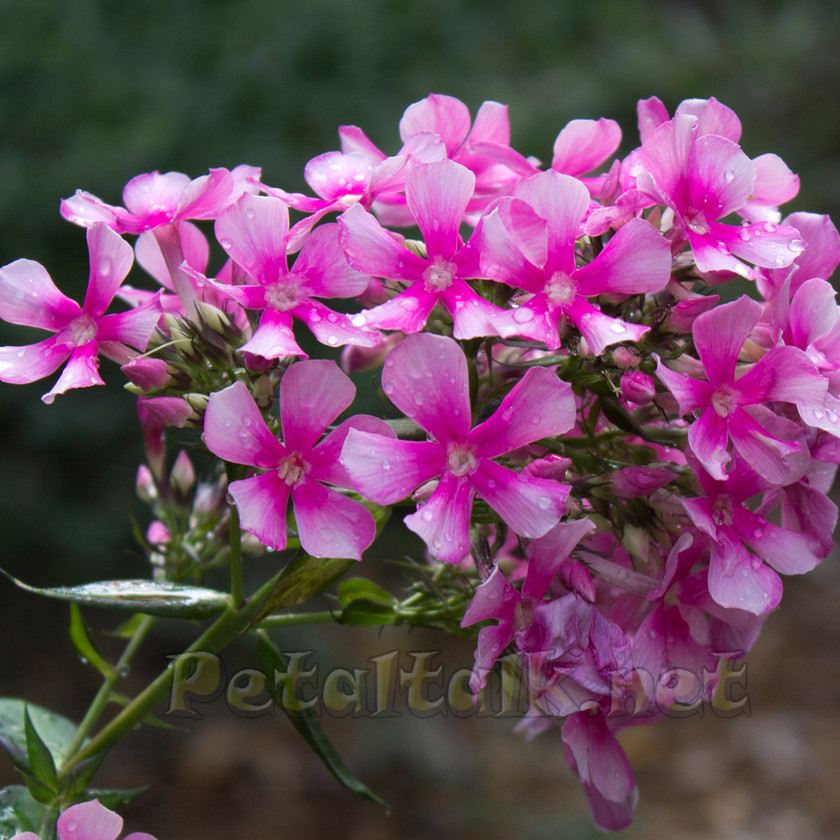 Phlox 'Maiden America' has blooms that last longer than most other varieties.