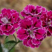Carnation 'Everlast Burgundy'