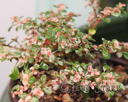 Pilea microphylla 'Variegata'