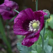 Poppy 'Lauren's Grape'