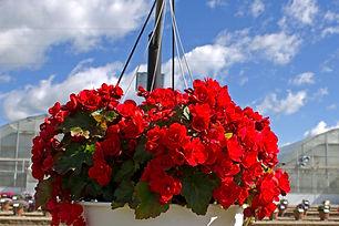 begonia elatior Vermillion Red8421.jpg