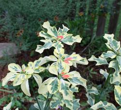 Summer Poinsettia