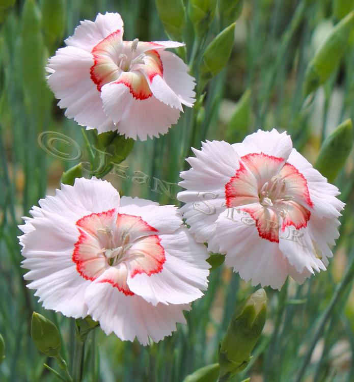 Dianthus Georgia PeachPie