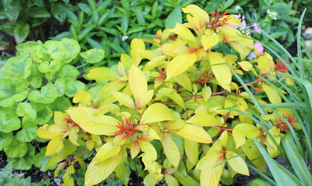 fire bush, golden leaved plant