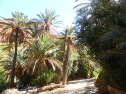 Palmiers-dattiers