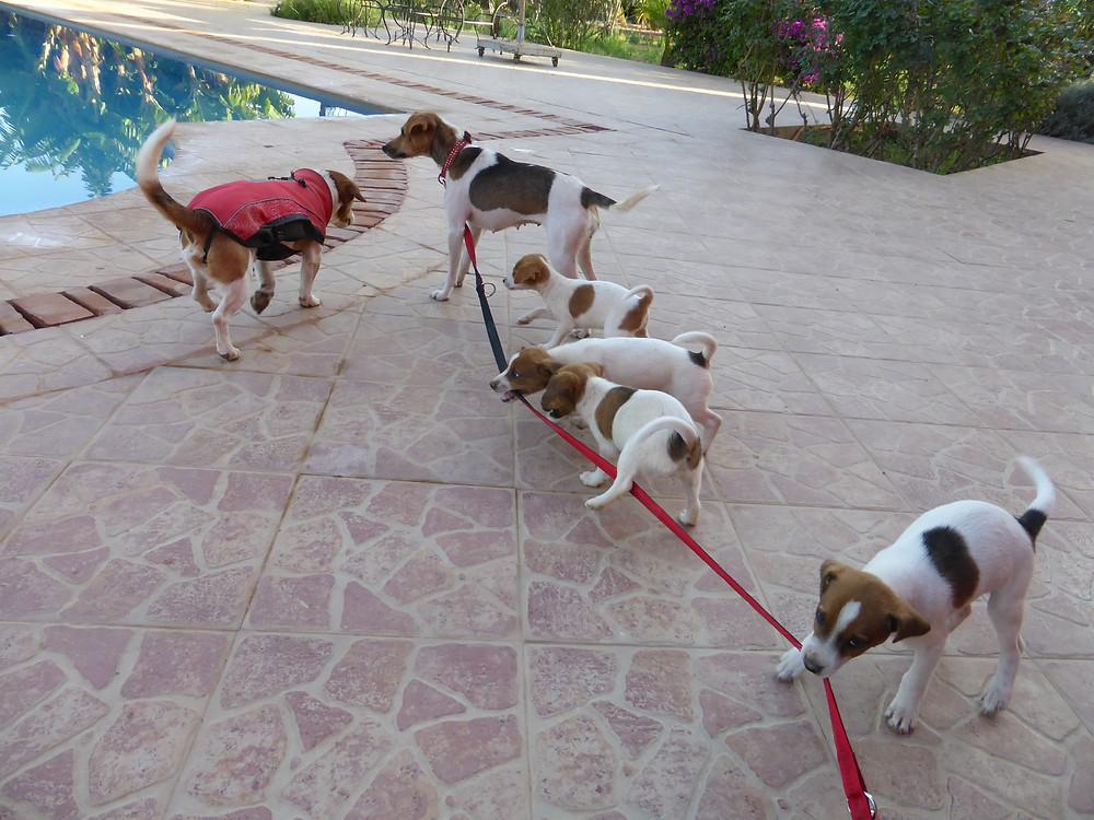 Une jolie famille de quatre chiots. L'un d'entre eux a trouvé une excellent patronne à Agadir.