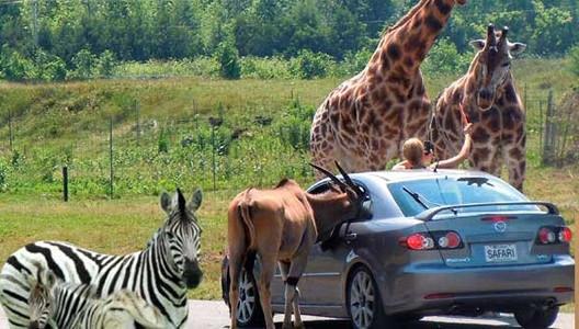 Parc Safari de Montréal : les véhicules privés des visiteurs sont autorisés.