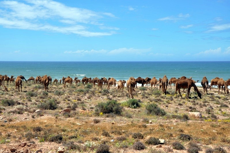 Dromadaires près de Sidi Ifni