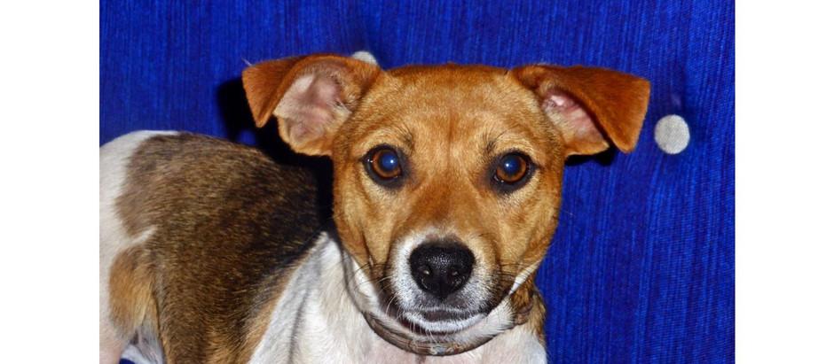 Avez-vous vu cette charmante petite chienne nommée Saga, qui a disparu près d'Ouled Teima ?