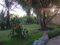 Oliviers dans le jardin