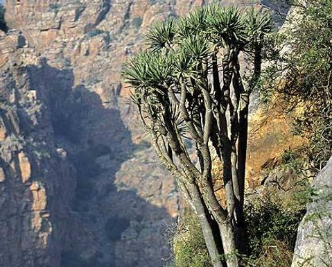 Le dragonnier de Malaga retrouvé au Maroc sur le djebel Imzi