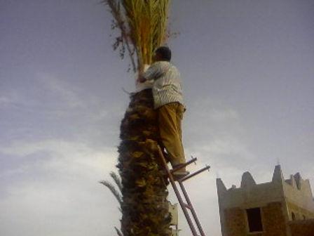 Il faut coiffer les palmiers-dattiers