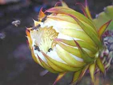 Fruit du dragon : culture adaptée au Maroc