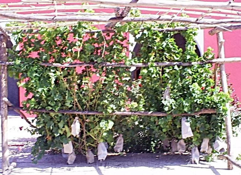 La vigne se plaît au Jardin aux Etoiles