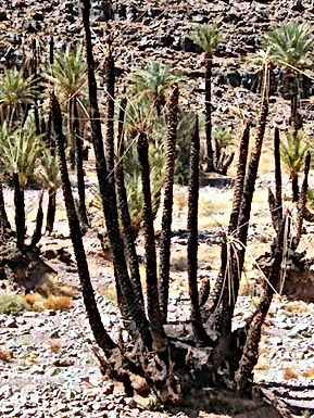 Marrakech : SOS palmiers-dattiers !