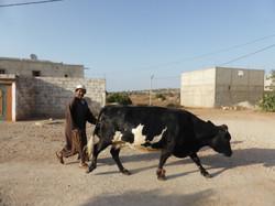La vache et le propriétaire