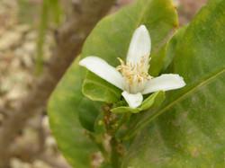 Fleur de cédrat