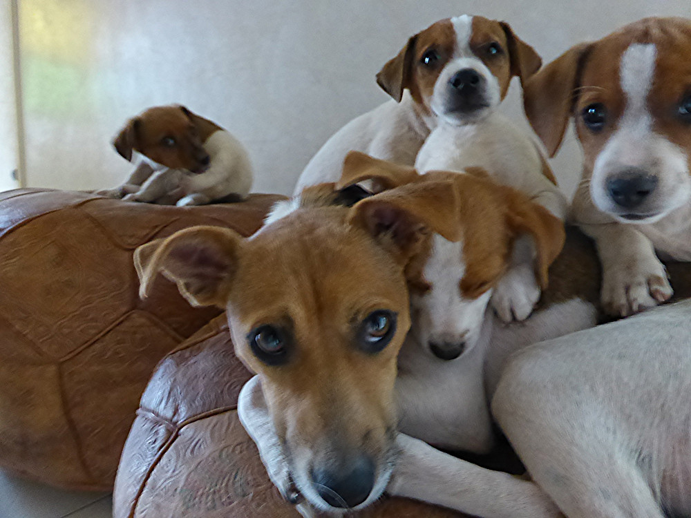 Saga, la maman, et ses quatre chiots si mignons