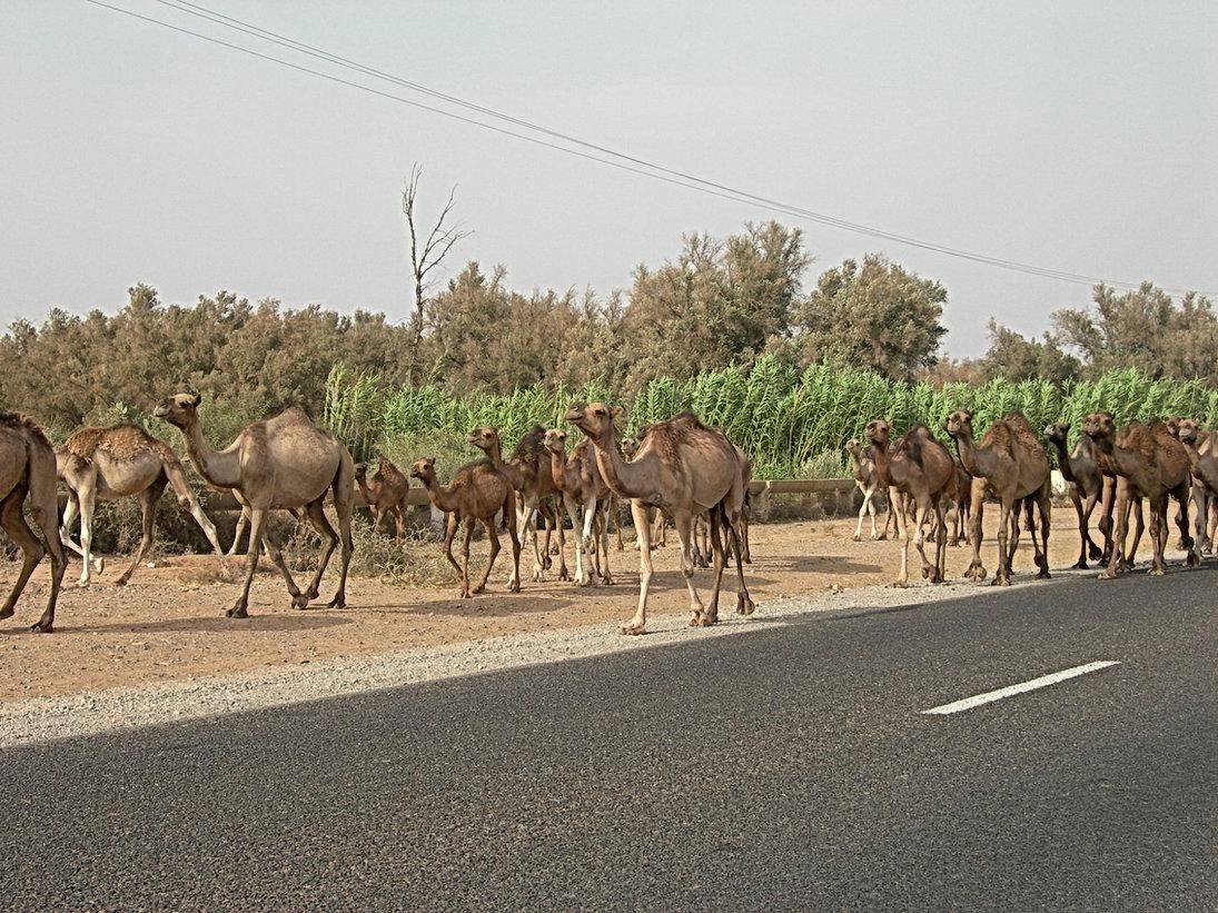 J'ai même rencontré des dromadaires heureux au bord des routes du Souss