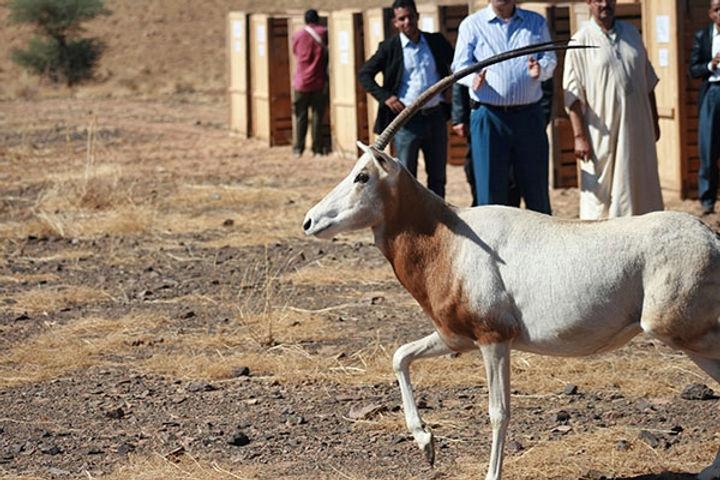 Oryx alagazelles élevées au Parc de Souss Massa bientôt à Errachidia et à Boujdour