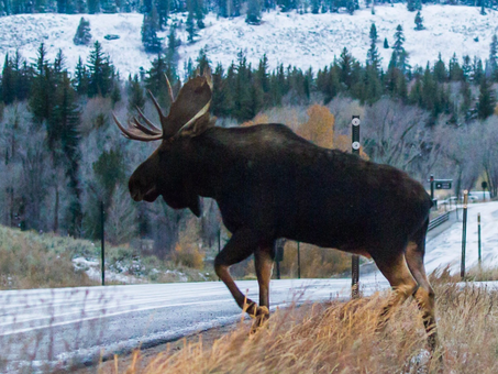 WIN FOR WILDLIFE! $10 MILLION SECURED FOR WILDLIFE CROSSINGS IN WYOMING