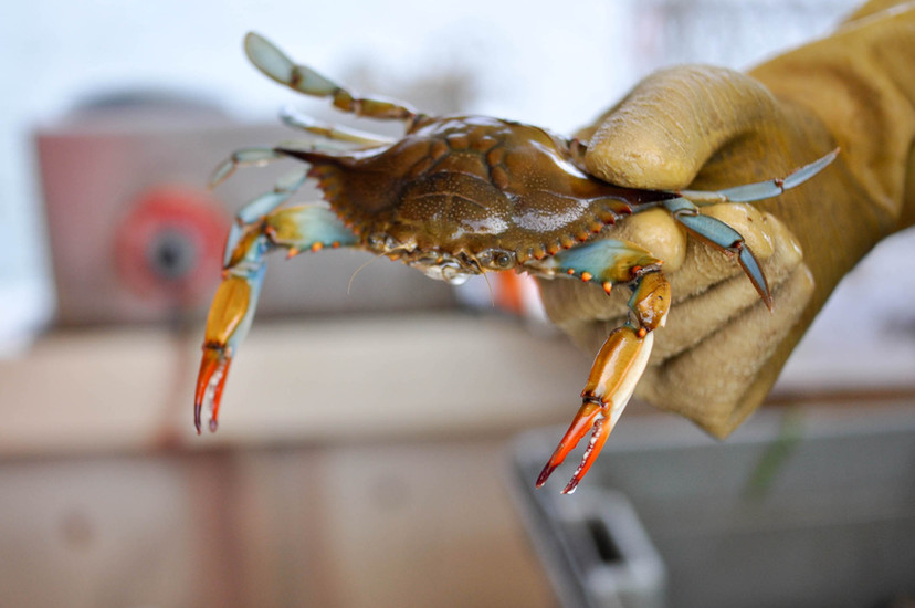 fisherman-holds-blue-crab-in-Charleston-