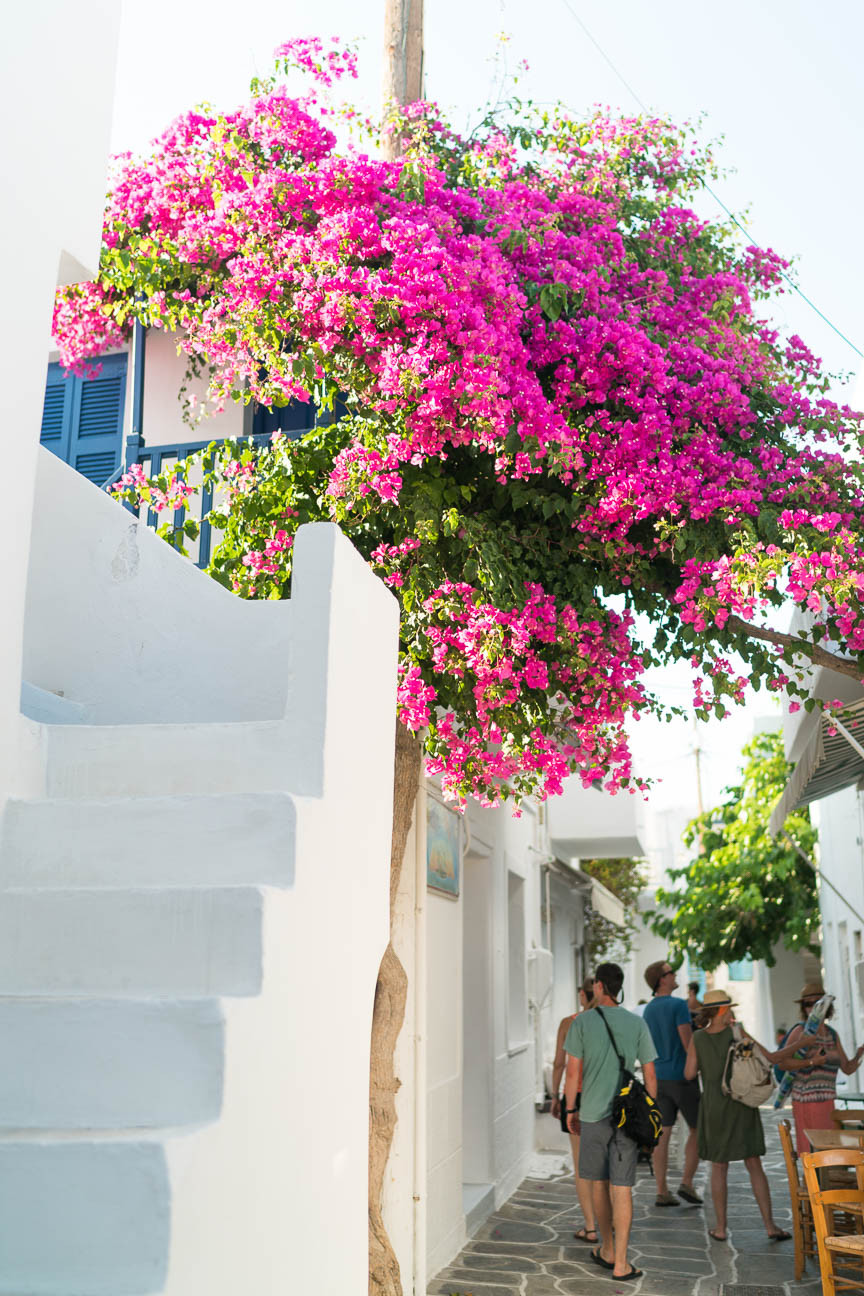 Small street with pink trees on the island of Paros