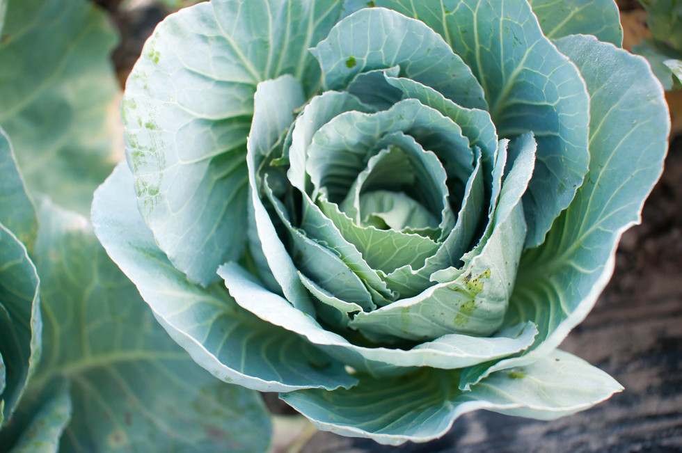 Cabbage-on-farm-in-Charleston-SC_©Camero