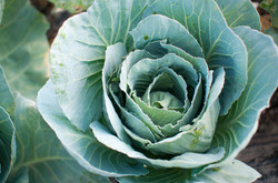 Local Cabbage from Charleston Image