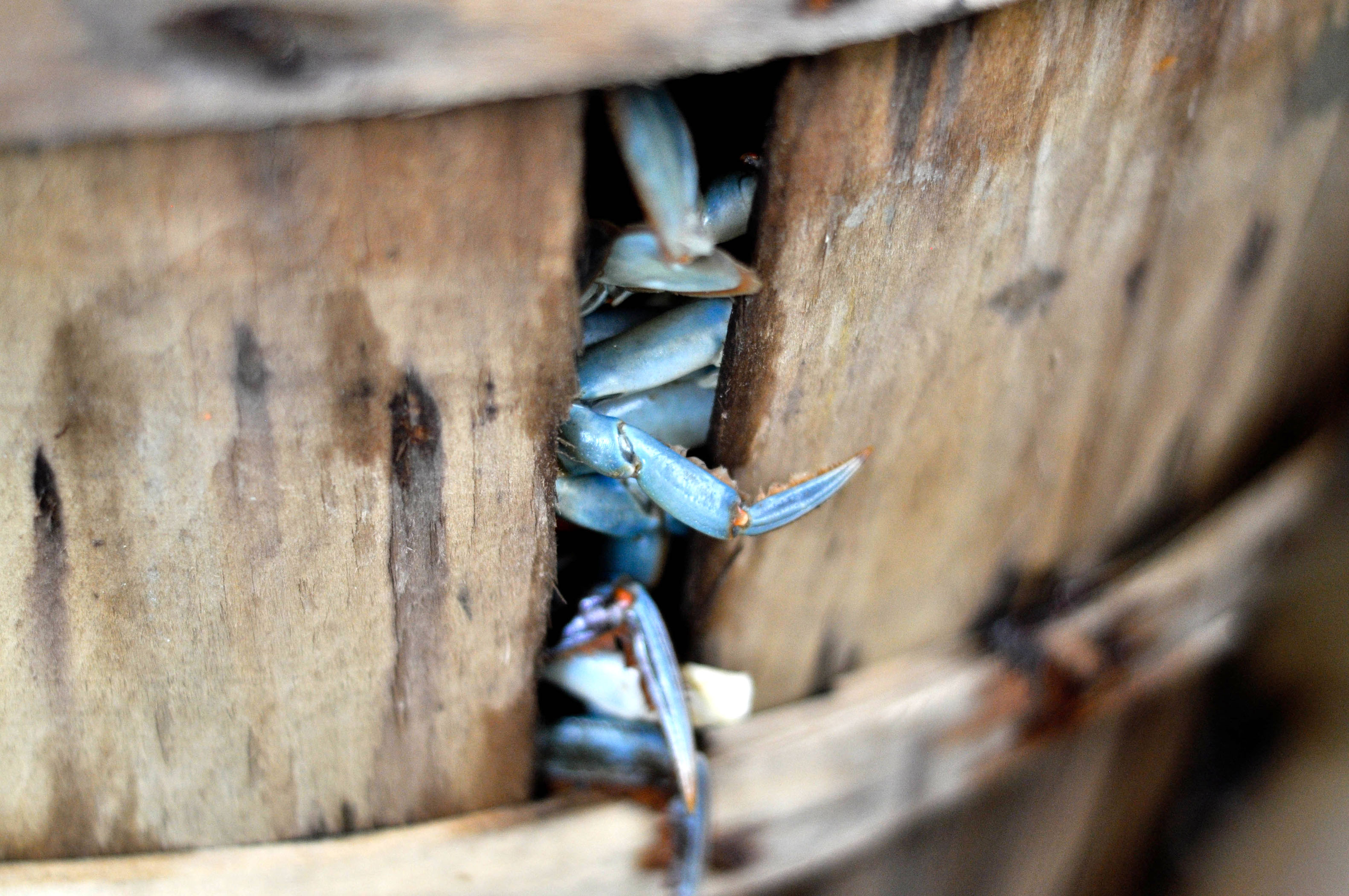 Crabs in Wooden Buckets Image