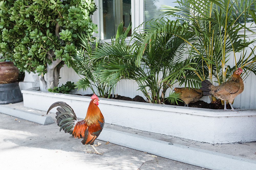 rooster outside of Eden House, Key West, FL