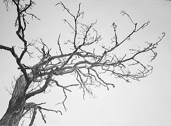 drawing of trees, pencil drawing of trees, pencil, trees, drawing, bare trees, jenny fox drawing