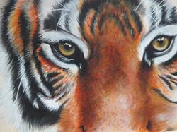 Tiger - Zoom
