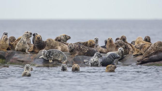 Itämeren hyljekantojen kehitystä esiteltiin Arkipelagian iltamissa