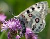 Apollovuosi 2018 – uhanalaiset perhoset helteessä