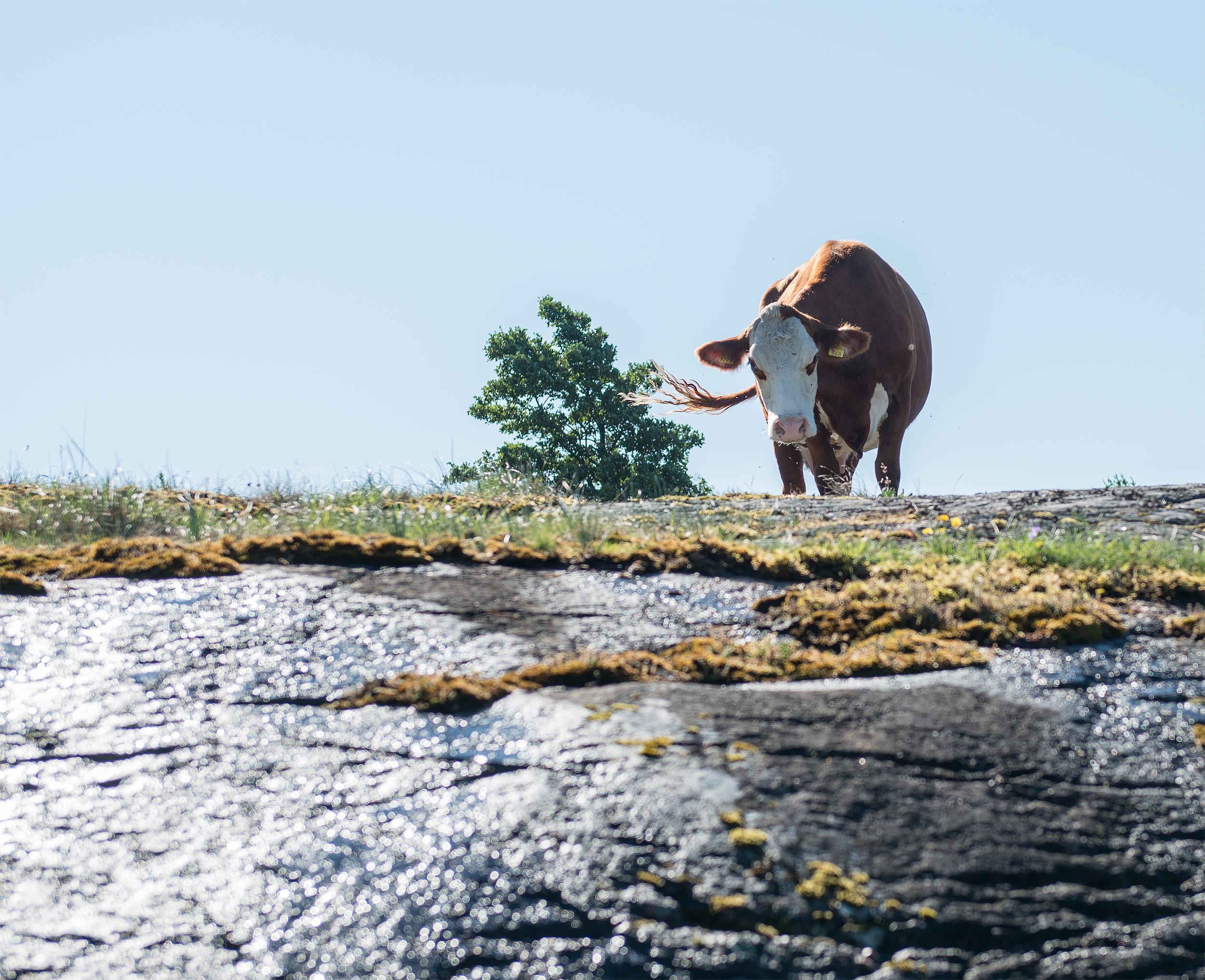 Lehmä_Berghamn