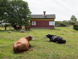Lehmä2_Berghamn