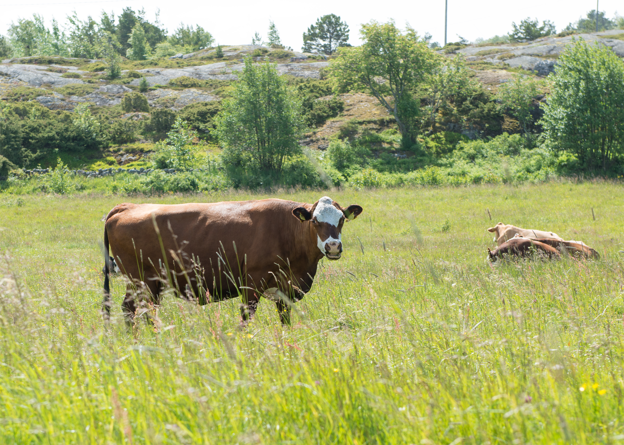 Lehmät_Berghamn