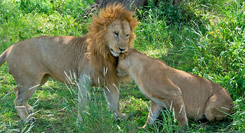 Tender lions at Serengeti National Park