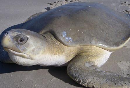 The flat back sea turtle