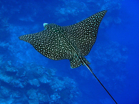 The Spotted Eagle Ray; a Timid Charm