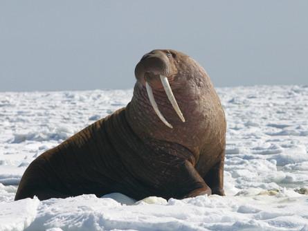The Walrus; A Graceful Swimmer