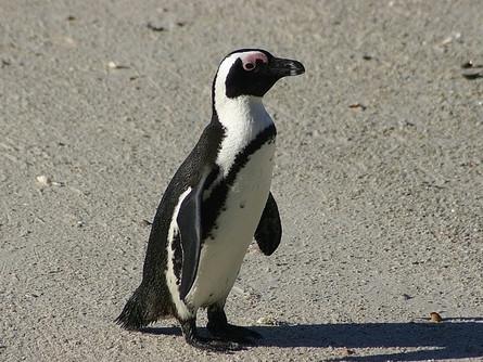 Penguins- the flightless birds