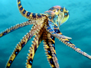 The octopus- the master escape artist.